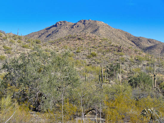 Saguaros are particularly abundant on the Gould Mine Loop